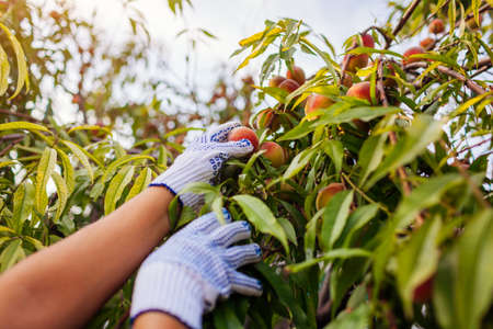 Peaches harvesting. Woman picking ripe organic peaches in summer orchard. Farmer checking fruits on branches. Gardening and farming