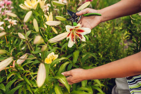 Woman holding fresh lily flower in garden picking and cutting with pruner. Gardener taking care of lilies. Gardening hobby concept