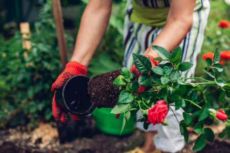Woman gardener transplanting roses flowers from pot into wet soil after watering it with watering can. Summer garden work. Archivio Fotografico