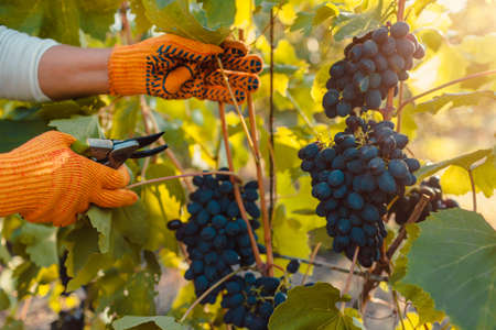 Farmer picking up crop of grapes on ecological farm. Woman cutting blue table grapes with pruner. Fresh fruits. Gardening, farming concept
