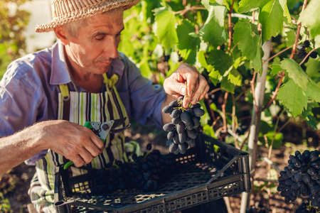 Farmer gathering crop of grapes on ecological farm. Man cutting blue table grapes with pruner and puts it in box. Gardening, farming concept