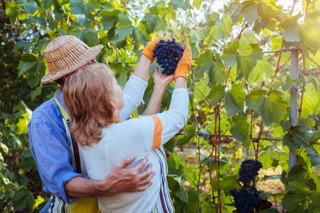 Grapes picking. Couple of farmers gather crop of grapes on ecological farm. Happy senior man and woman checking fruits. Gardening