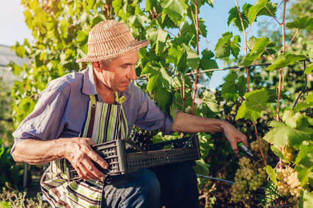 Farmer gathering crop of grapes on ecological farm. Man cutting blue table grapes with scissors. Gardening, farming concept. Healthy fruits