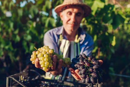 Farmer picking crop of grapes on ecological farm. Happy senior man holding green and blue grapes in hands. Fall harvest. Gardening
