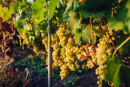 Autumn crop of table grapes on ecological farm. Green delight grapes hanging in garden. Gardening, farming concept. Healthy fruits
