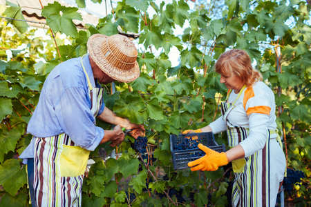 Couple of farmers picking crop of grapes on ecological farm. Happy senior man and woman cut bunch with pruner and put grapes in box. Gardening Foto de archivo
