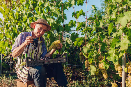 Farmer picking crop of grapes on ecological farm. Happy senior man holding buches of green and blue grapes. Gardening, farming concept