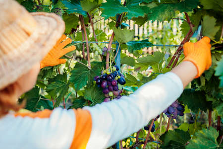 Farmer gathering crop of grapes on ecological farm. Woman checking bunches of blue table grapes with pruner. Gardening, farming concept Archivio Fotografico