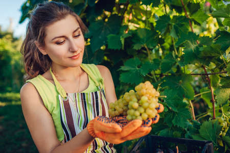 Farmer gathering crop of grapes on ecological farm. Young woman holding bunch of table grapes and puts it in box. Gardening, farming concept Archivio Fotografico
