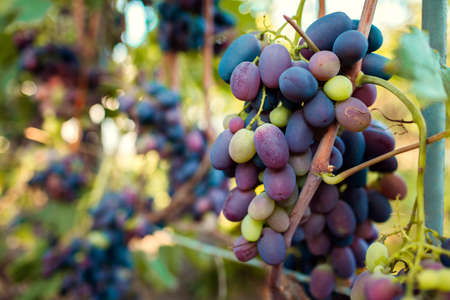 Crop of table grapes on ecological farm. Big bunches of blue delight grape hanging in garden. Autumn harvest. Gardening, farming concept