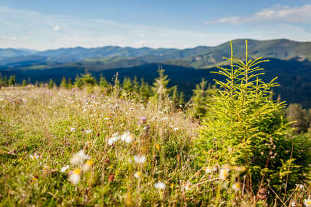 Carpathian mountains view. Summer ukrainian landscape. Fir tree grows on hill with flowers. Wild nature. Tourism and travelling Archivio Fotografico