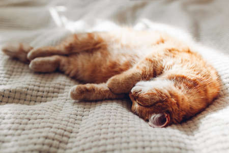 Ginger cat sleeping on couch in living room on sunny day. Pet having good time at home. Close up