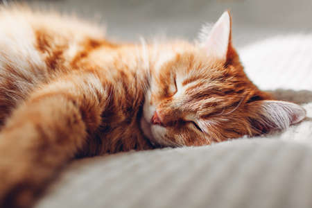 Ginger cat relaxing on couch in living room. Pet having good time at home sleeping at home. Close up 免版税图像