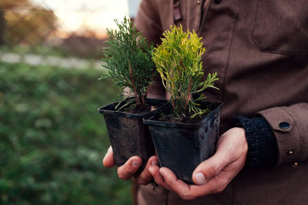 Gardener man holding two types of small arborvitae thujas in containers. Transplanting evergreen plants into soil in autumn