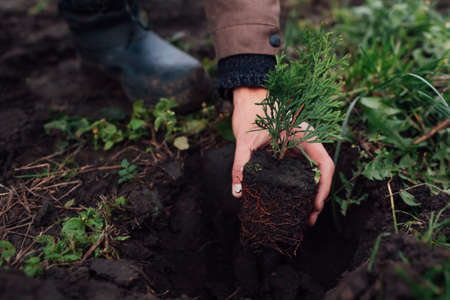 Gardener man taking small thuja out of container and puts tree in soil. Transplanting evergreen arborvitae plants in autumn 免版税图像