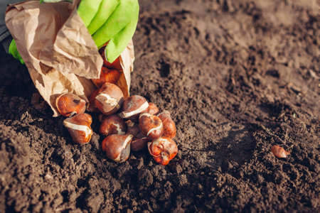 Tulip bulbs fall planting. Woman gardener gets bulbs out of paper bag ready to put in soil. Autumn gardening work. Planting spring flowers