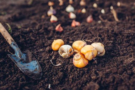 Allium bulbs fall planting. Tulip, narcissus, crocus, hyacinth bulbs ready to put in soil with shovel. Autumn gardening work. Planting spring flowers