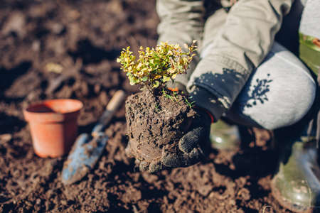 Gardener transplanting barberry bush from container into soil. Autumn gardening work. Thunberg's yellow green barberry shrub 免版税图像