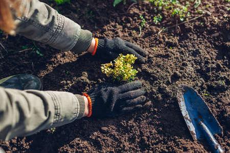 Gardener transplanting barberry bush from container into soil tramping down durt. Autumn gardening work. Thunberg's yellow green barberry 免版税图像