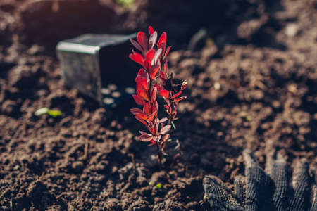 Transplanting barberry bush from container into soil. Autumn gardening work. Gardener's gloves and pot left around. Thunberg's red barberry