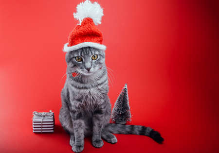 Grey tabby cat wears Santa's hat on red background by gift box and Christmas tree. Christmas and New year concept. Space 免版税图像