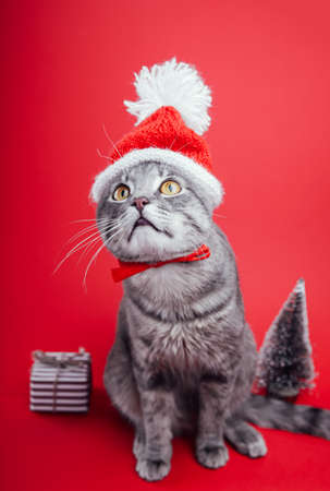 Grey tabby cat wears Santa's hat on red background by gift box and Christmas tree. Christmas and New year concept.