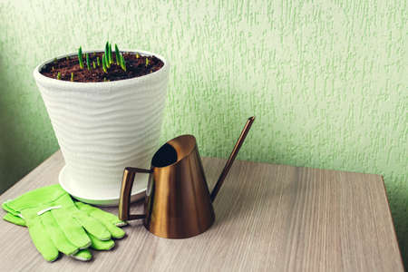 Gardener watering tulips sprouts in pot using modern golden metal watering can and gloves at home. Spring flowers growing. Space. Forcing bulbs to bloom