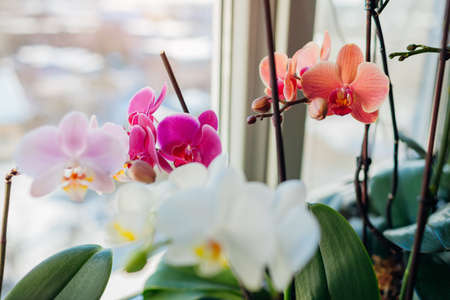 Blooming orchids. White, purple, pink, orange, red orchids blossom on window sill. Home flowers growth. Gardening hobby