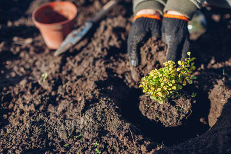 Gardener transplanting barberry bush from container into soil. Spring gardening work. Thunbergs yellow barberry