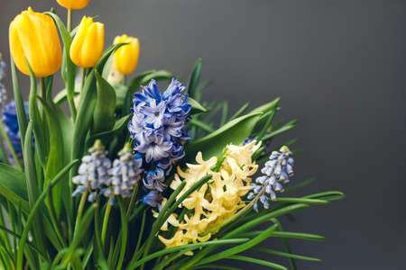 Easter composition of spring flowers. Yellow tulips, hyacinths, blue muscari on grey background. Holiday decoration. Space Фото со стока
