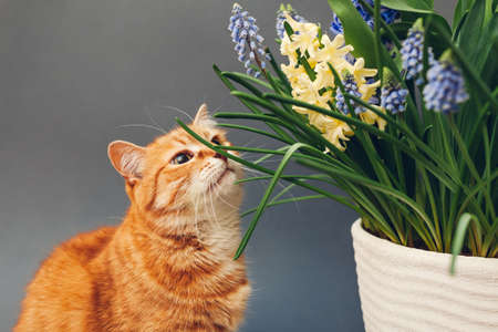 Ginger cat smelling spring flowers in pot. Pet enjoys blooming yellow hyacinths, muscari on grey background. Easter concept Фото со стока