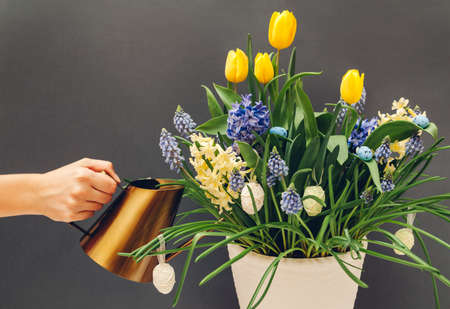 Easter egg pot with spring flowers. Watering yellow tulips, hyacinths, blue muscari with watering can on grey background. Holiday decoration