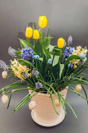 Easter composition of spring flowers with eggs. Yellow tulips, hyacinths, blue muscari grow in pot on grey background. Holiday decoration. Фото со стока