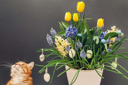 Easter cat smelling spring flowers in pot with eggs. Pet enjoys blooming yellow hyacinths, tulips, muscari on grey background. Space Фото со стока