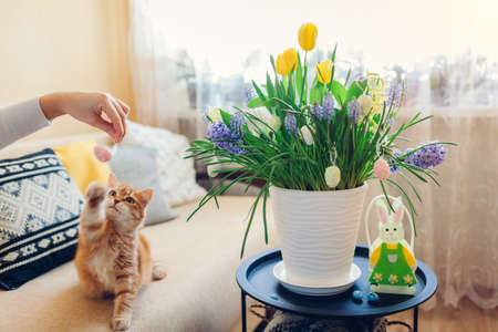 Easter decoration. Cat playing with woman holding egg by spring flowers blooming in pot at home. Holiday living room interior
