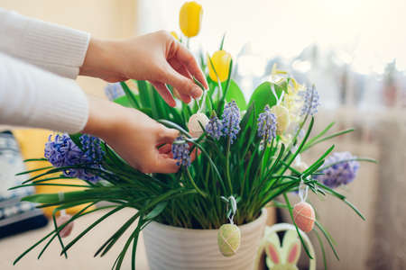 Easter home decor. Woman hangs eggs on spring blooming flowers in pot. Yellow and blue hyacinths, tulips, muscari in blossom. Close up Фото со стока