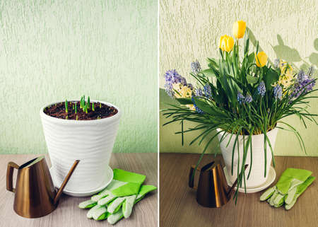 Spring bulbs flowers stages of blooming and growing in pot. Yellow tulips, hyacinths, blue muscari with watering can. Before and after collage. Home hobby
