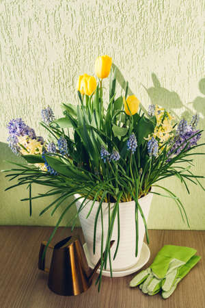 Bouquet of spring flowers. Yellow tulips, hyacinths, blue muscari grow in pot at home. Watering can, gloves of gardener put on table