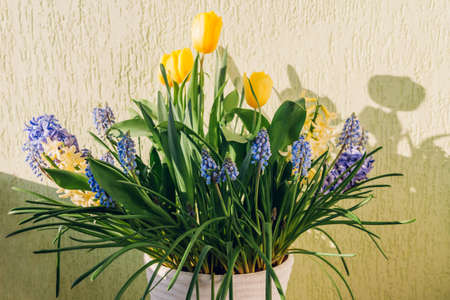 Bouquet of spring flowers. Yellow tulips, hyacinths, blue muscari grow in pot at home. Holiday decoration. Gardening hobby Фото со стока