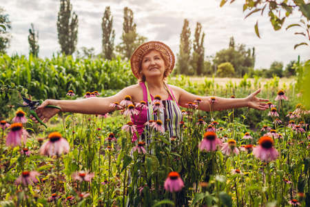 Senior woman picking flowers in garden. Happy gardener walking by Echinacea or coneflower and admiring nature. Outdoor hobby. Lifestyle