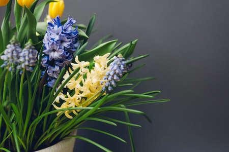 Easter composition of spring flowers. Yellow tulips, hyacinths, blue muscari on grey background. Holiday decoration. Space 版權商用圖片