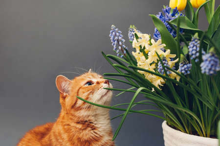 Ginger cat smelling spring flowers in pot. Pet enjoys blooming yellow hyacinths, muscari on grey background. Easter concept 版權商用圖片