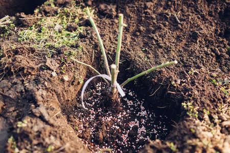 Transplanting rose bush into wet soil adding granulated fertilizer. Spring seasonal garden work.