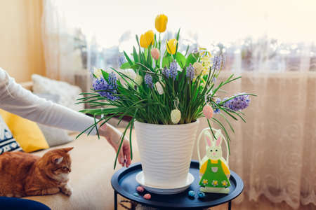 Easter home interior decoration. Woman puts eggs by spring blooming flowers in pot. Yellow hyacinths, tulips, muscari in blossom grow on table by bunny.