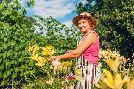 Senior woman gathering flowers in garden. Middle-aged gardener cutting yellow lilies off with pruner. Summer gardening Archivio Fotografico