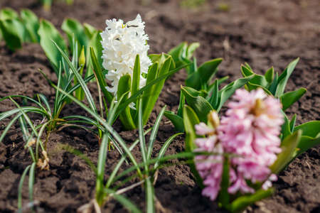 White and pink hyacinths blooming in spring garden. April flowers in blossom. Nature awakening from winter
