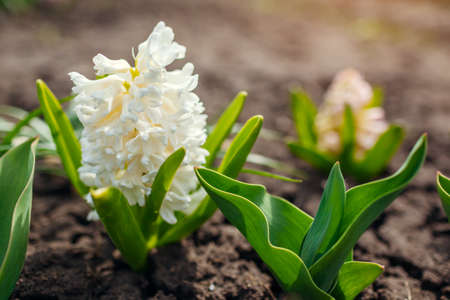 White and pink hyacinths blooming in spring garden on sunny day. April flowers in blossom.