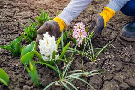 Gardener admires blooming white and pink hyacinths in spring garden. First flowers in blossom among tulips.