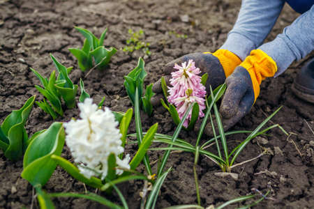 Gardener admires blooming hyacinths in spring garden. Woman wearing dirty gloves holds flowering plant. First flowers in blossom. Archivio Fotografico