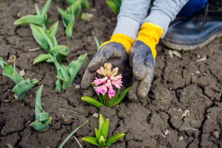 Gardener admires blooming pink hyacinth in spring garden. First flowers in blossom. Woman wearing gloves holding plant